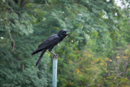 crow: Close up of crow standing on iron pole in garden.