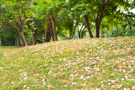 sear and yellow leaf: Dry leave on little hill in jatujak park bangkok thailand.