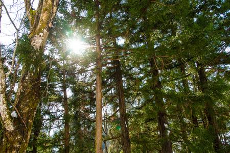 gokayama: Fresh tree in forest with sunlight gokayama japan. Stock Photo