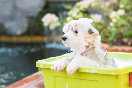 Cute puppy siberian husky bathing in green plastic box. Stock Photo