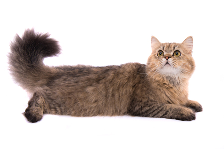 Close up of cute persian tabby cat on white background isolated. Stock Photo