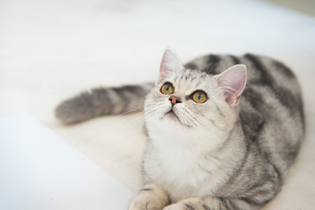 sitting on the ground: Close up of beautiful american shorthair cat sitting on the ground.