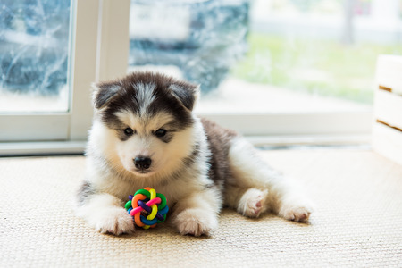 Close up of cute puppy siberian husky playing dog toy on the ground.