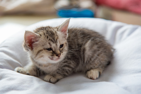 Close up of sick american short hair kitten on white pillow. Stock Photo
