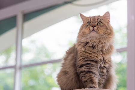 Close up of cute brown tabby persian cat sitting on cat tower in cat cafe. Stock Photo