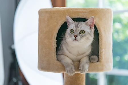 Close up of cute tabby persian cat sitting on cat tower in cat cafe.