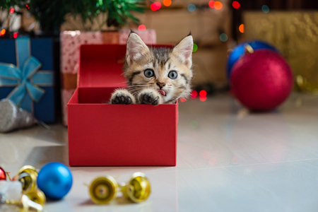 wait: Cute kitten in christmas.