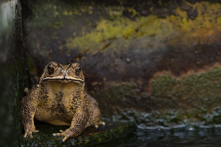 croak: Close up of big yellow toad sitting on stone floor in the pool. Stock Photo
