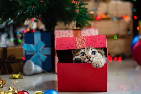 Primo piano di cute tabby gioco gattino persiano marrone e in cerca di regalo in giorno di Natale. Archivio Fotografico - 65784160