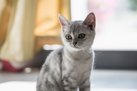 grey eyed: Close up of cute grey tabby kitten looking for someone.