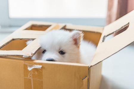 紙の箱に座っている美しい白いシベリア子犬のクローズ アップ。