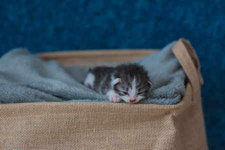 pussy: Close up of cute sleeping kitten on grey blanket in wooden basket in home. Stock Photo