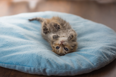Cute lazy kitten play and lying on light blue pet bed in home.