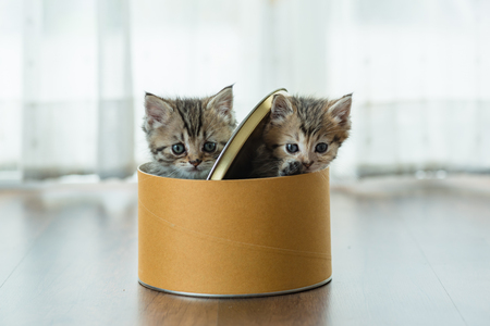 Couple of cute kitten playing together in paper box in home. Stock Photo