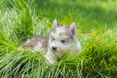 Cute siberian puppy walk and play in the garden.