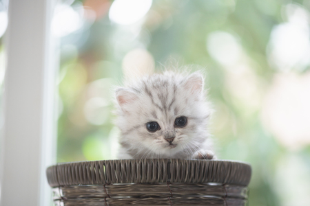 Close up of cute persian kitten siting in wooden basket with bokeh background. Stock Photo