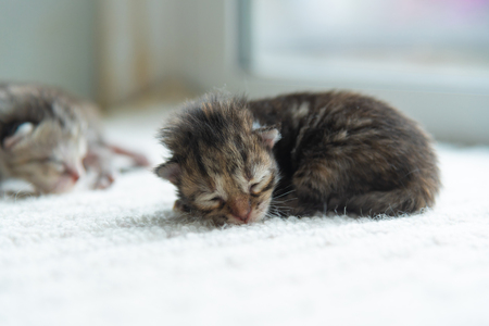 Close up of newborn persian kitten lying on the ground in home