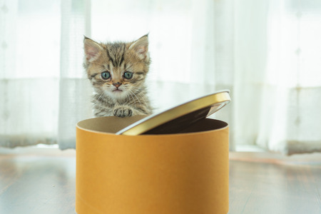 Cute persian kitten play and hide in paper box.