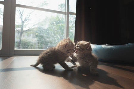 Couple cute persian kitten playing together on ground in home.