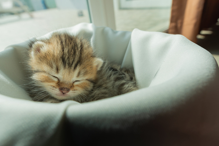Cute lazy persian kitten wake up from sleep on white blanket in home. Stock Photo