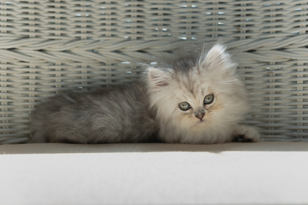 Close up of cute persian kitten sitting on wooden chair in home. Stock Photo - 110366880