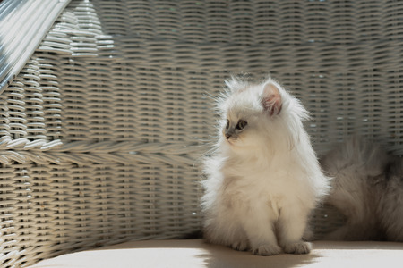 Cute persian kitten walk and looking on wooden sofa in home. Stock Photo - 110366885