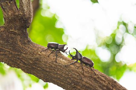 Japan horn beetle or kabuto is favorite pet for japanese child in summer Osaka Japan.