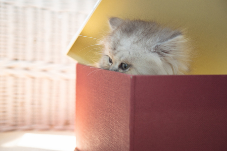Close up of cyte persian kitten sittin in christmag gift box in home. Stock Photo
