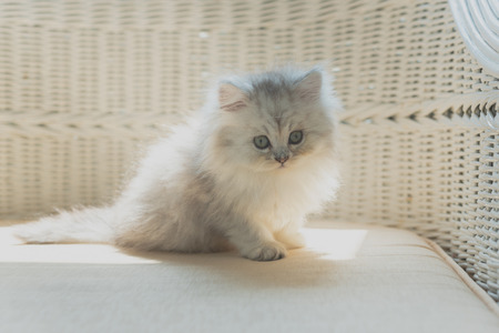 Close up of cute persian kitten sitting on wooden chair in home. Stock Photo