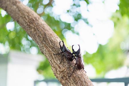 Japan horn beetle or kabuto is favorite pet for japanese child in summer Osaka Japan. Stock Photo - 110366544