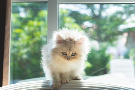 Cute persian kitten walk and looking on wooden sofa in home.
