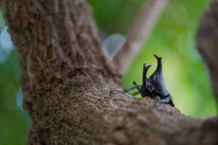 Japan horn beetle or kabuto is favorite pet for japanese child in summer Osaka Japan. Stock Photo - 110366748