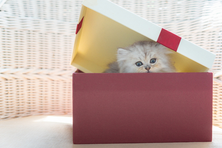 Close up of cyte persian kitten sittin in christmag gift box in home. Stock Photo - 110366751