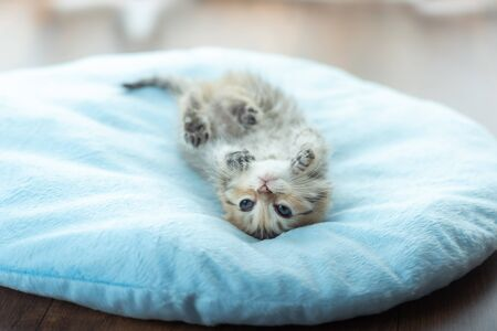Close up of cute kitten sit and playing in home.