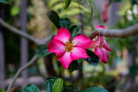 mock azalea: Desert Rose-Impala Lily- Mock Azalea Stock Photo