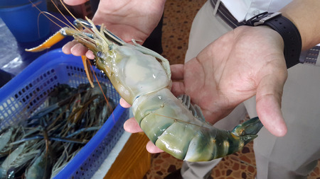 macrobrachium: Fresh River Prawn held in the hand before grill as a famous dish at Ayutthaya, Thailand