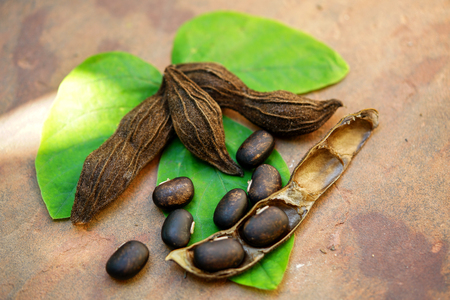 The seeds of Velvet bean or Mucuna pruriens have been used for traditional medicine Stock Photo