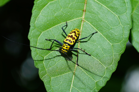 longhorn beetle: Insect on leaf found in Thailand, longhorn beetle