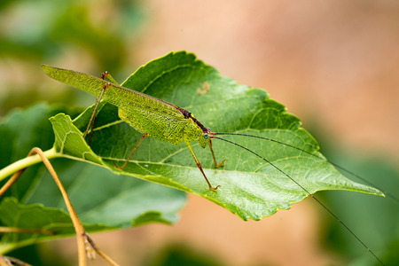 chorthippus: Grasshopper over the green leaf Stock Photo