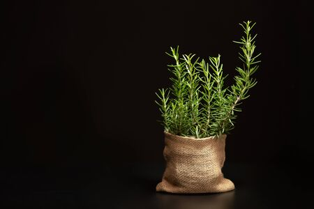 Rosemary herb tree in a sack with black background with wide copy space on the left, rosemary nomally use for cooking herb, aromatic oil in spa therapy and ingedient for infused water and oil.