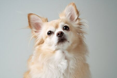 close up of white brown fur chihuahua 7 years old looking up with grey background and copy space at the left.