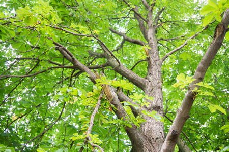 Chestnut tree trunk from bottom to top view. Green leaves, summer time 版權商用圖片
