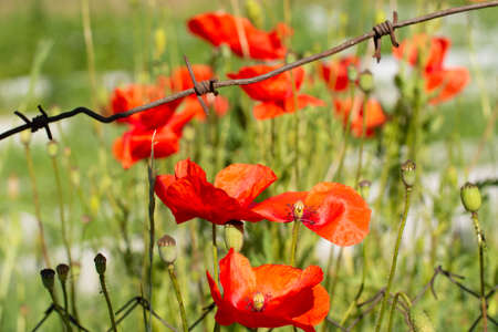 Many Bright red poppies under barbed rusty wire on a blurred background of green grass at sunny day