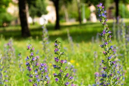 field plant with many small purple flowers. The background is blurred. Against the background of trees and grass of the park