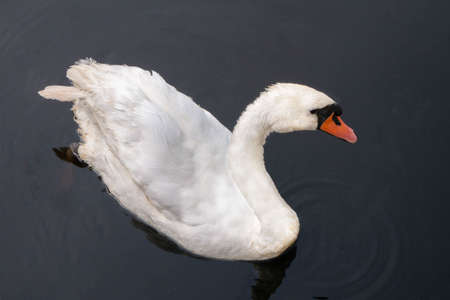 Top view of a shy old swan male. Bird swims in the water. High quality photo