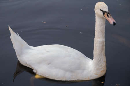A curious swan female swims up in silvery water lined with stone to the shore. High quality photo 写真素材