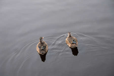 a pair of ducks floats on the river surface. before them diverges water. back view Stock Photo