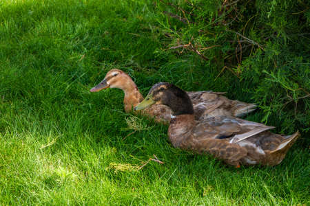A pair of ducks perched on the lawn. Sex differences in nature. Male and female. Gaze Stock Photo
