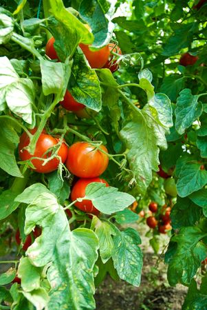 grown: Organic Homegrown Tomatoes