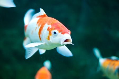 fish tail: Koi Carp Stock Photo